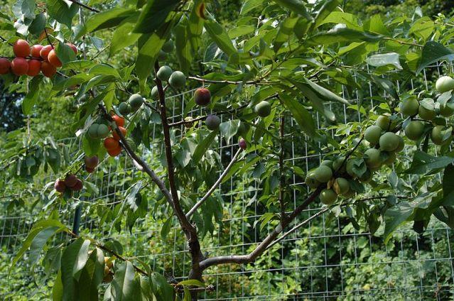 Tree_of_40_Fruit_-_nursery_-_DSC_0302